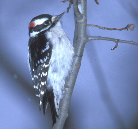 downywoodpecker1.jpg